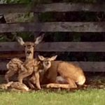 Midway Deer